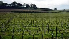 Elverte a jég a bordeaux-i szőlőt
