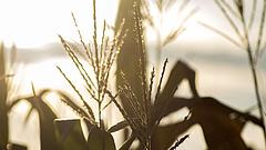 Kevesebb kukorica termett