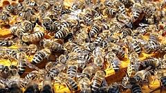 Mérgezéstől pusztulnak tömegesen a magyar méhek