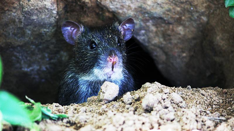 Ötvenszeresére nőtt Budapest patkányfertőzöttsége