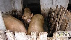 Drasztikus terv készült a sertéspestis megállítására - a titkos javaslatot egyelőre jegelték