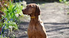 Jó hírt kaptak a magyar kutyák tenyésztői