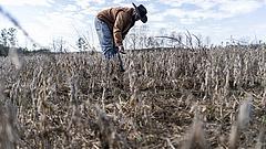 Aszály: több millió tonnányi gabona ment tönkre