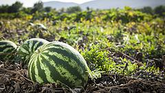 Válságban van a magyar zöldség- és gyümölcstermesztés