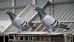 Rárepülnek a galambokra