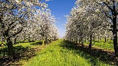 Új veszély fenyegeti a magyar gyümölcsfákat