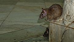 Ez az öt invazív faj okozta a legnagyobb károkat Európában az elmúlt 60 évben