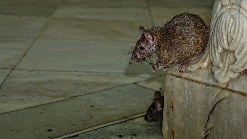Újra sok patkányt találnak országszerte