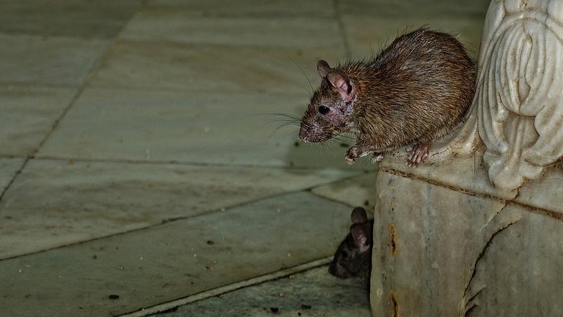 Patkányinvázióról tartanak Londonban