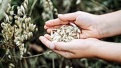 Váratlan előrejelzés jött a gabonatermésre
