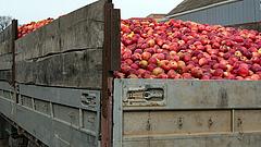 Erősebb fertőzések jöhetnek a gyümölcsösökben