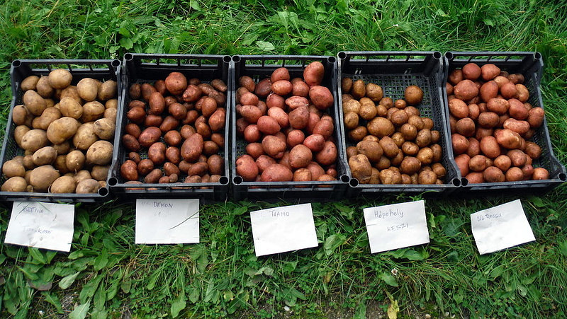 Drága és kevés a krumpli - keresik a kiutat a válságból