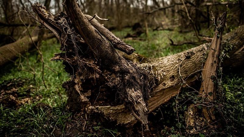 Országszerte pusztulnak az erdők - a kőris eltűnhet Magyarországról