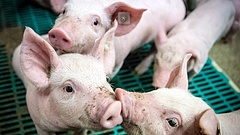 Egyre nagyobb veszélyben a magyar sertéságazat