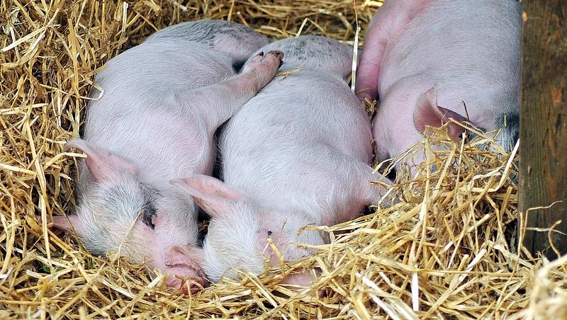 Gyanúsan titkolózás megy az állatokat tizedelő járványról?