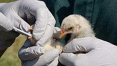 Aggasztó fejlemény a madárinfluenzánál: Oroszországban emberre terjedt át az A(H5N8)