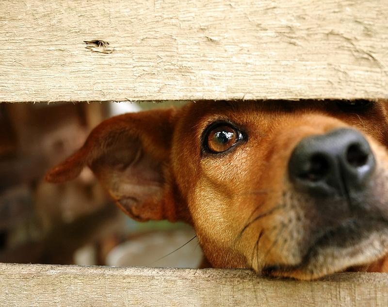 Veszett kutyákra figyelmeztet a Nébih