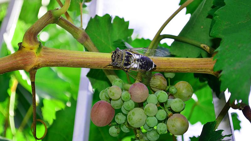 Védelemre szorul a hazai szőlő