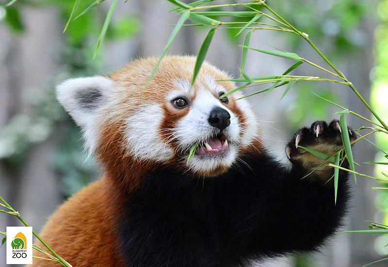 Németországból hoztak párt a budapesti kis pandának