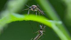 Szúnyogirtás kezdődik a Balatonnál