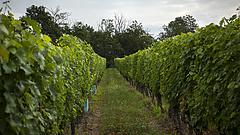 Egy év türelmi időt kapnak a termelők bortörvényhez