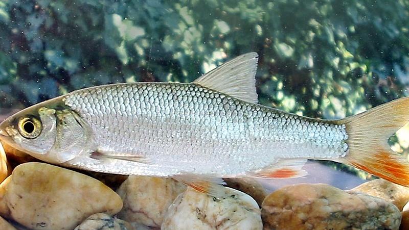 Egy nagyon szép hal lett az év hala Magyarországon