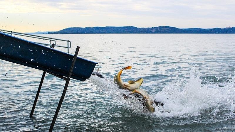 A Balatonban félmilliárdért lesz jó a halaknak