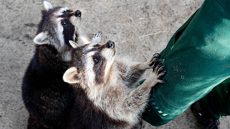 Mosómedve-kifutóra gyűjt a Budakeszi Vadaspark