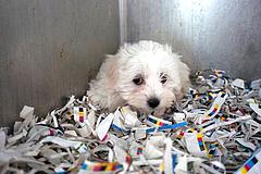 Kelet-európai kutyaszaporítók beteg állatai árasztják el Bécset