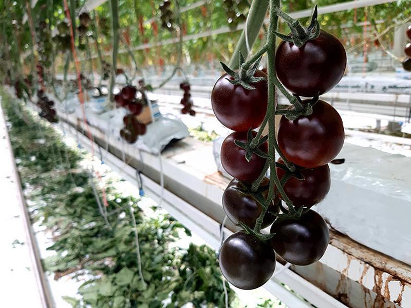 Új paradicsomfajta termesztése kezdődött Magyarországon