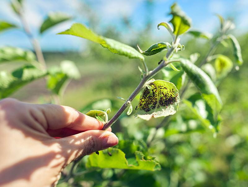 Új kártevő tarolja le a hazai növényeket