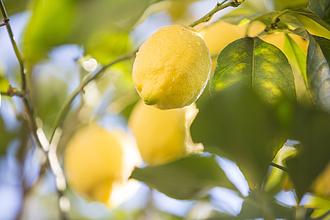 A fákon rohadt meg a citrom Ausztráliában