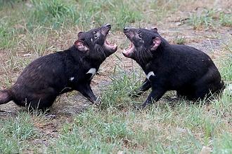 Hatlamas madárirtásba fogtak a tasmán ördögök