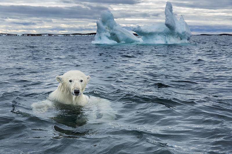 Bajban vannak a jegesmedvék, lehet, hogy újra kell gondolni az éghajlati modelleket