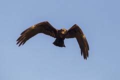 Minden idők legsúlyosabb madármérgezése történt egy turai vadásztársaság területén