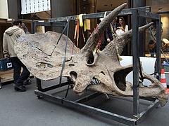 Óriási dinoszaurusz-csontvázat árvereznek el hamarosan, félmilliárd forintig is elmehet a licit