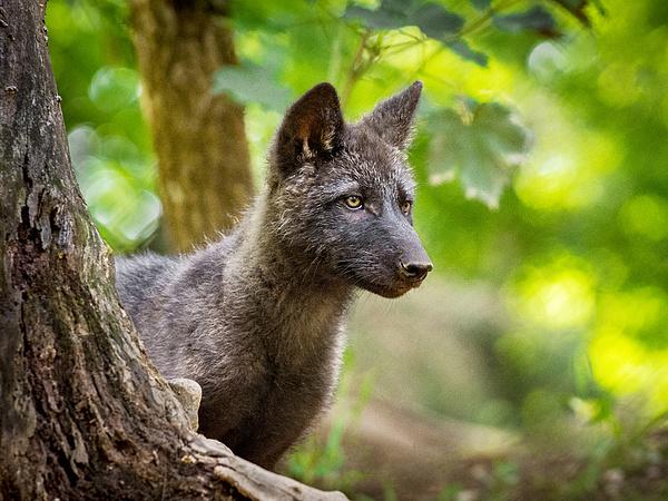 Elindult a farkasvadász-idény, máris megölték a Yellowstone három állatát