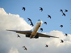 Disznók tesznek a repülés biztonságáért