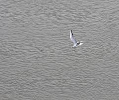 Tragikus a helyzet a Velencei-tónál, a madarak is tömegével hullanak